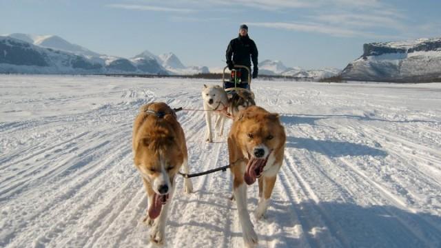 Hundspann på väg mot Tjounajokk i Lapplandsfjällen
